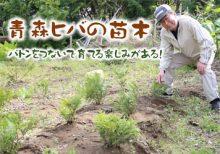 バトンをつないで育てる楽しみがある!青森ヒバの苗木